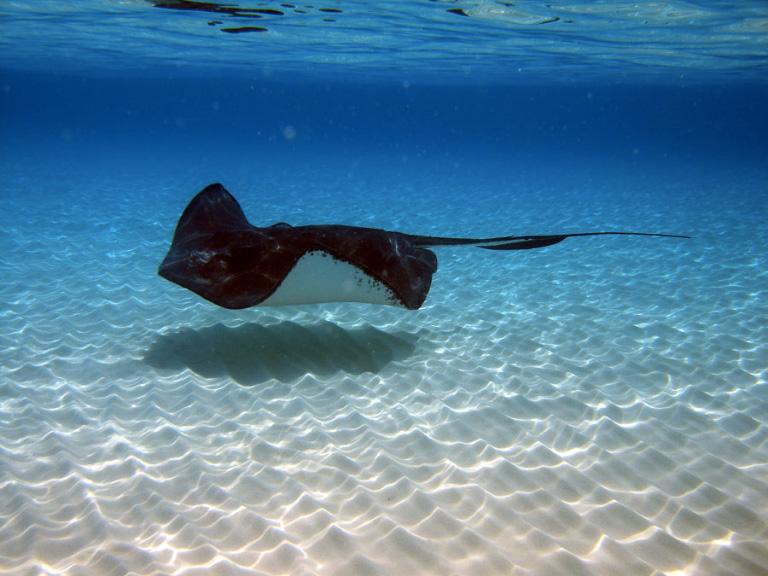 Raies-pastenagues-Grand-Cayman